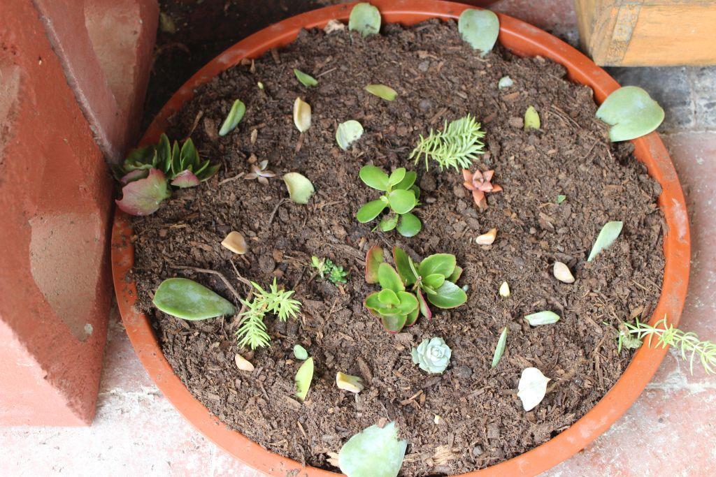 Propagate succulent leaves